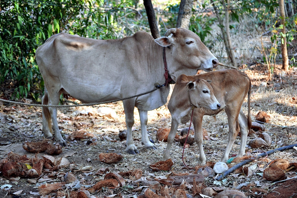Indigenous Cows_Vechur